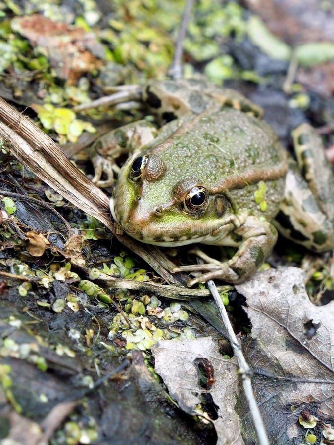 La rana verde prende il sole al sole sulla riva di uno stagno immagini stock libere da diritti