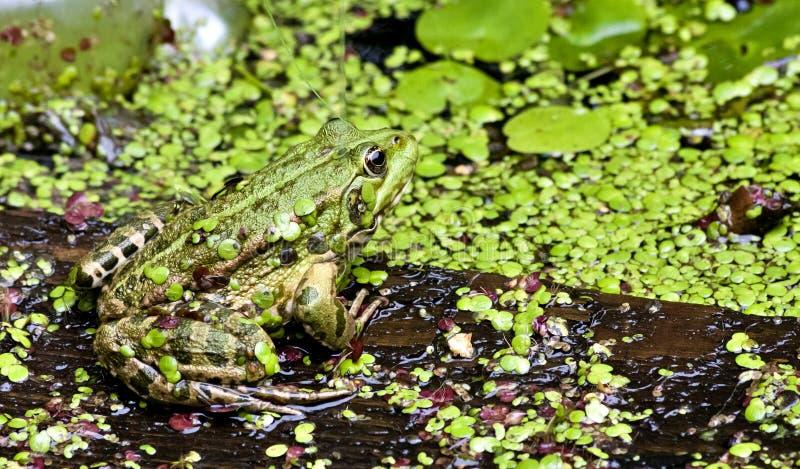 La rana verde se sienta en el tablero foto de archivo libre de regalías