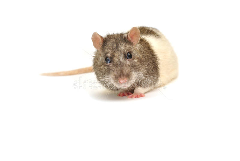 La rata agradable le gusta ser fotografiada foto de archivo