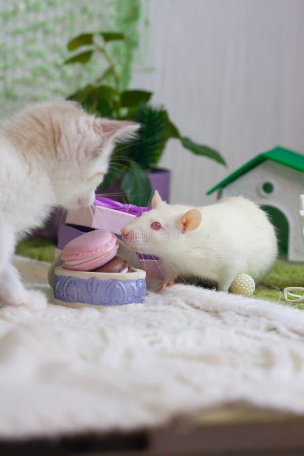La rata blanca huele la comida El gatito mira el rat?n fotos de archivo