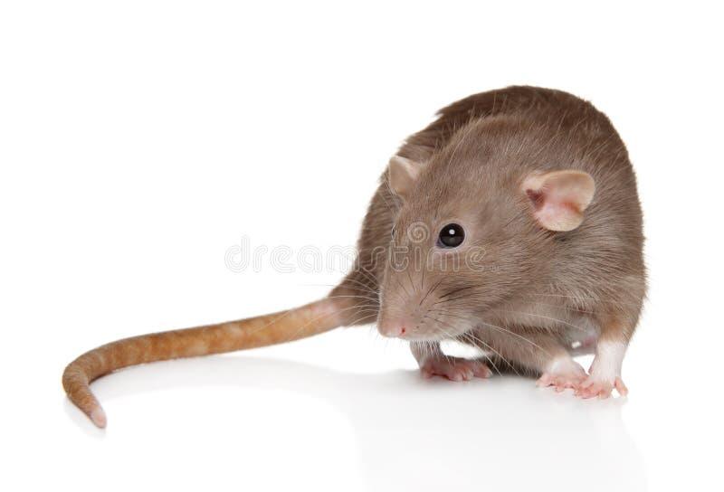 La rata de Dumbo se sienta en el fondo blanco fotografía de archivo