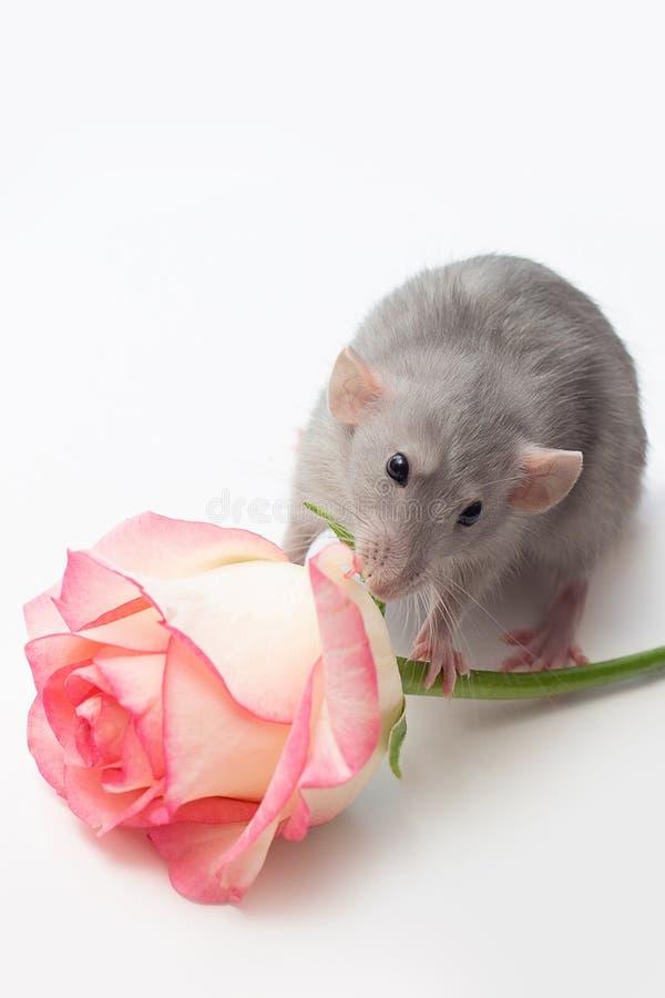 La rata de la mano, rata del dumbo, animales domésticos en un fondo blanco, una rata muy linda, una rata tiene una rosa imagen de archivo