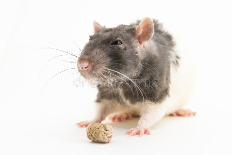 La rata decorativa blanco y negro, bizqueando sospechoso, mira el salvado de la pelotilla, en un fondo blanco fotos de archivo