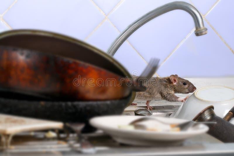 La rata joven del primer sube en platos sucios en el fregadero de cocina imagen de archivo libre de regalías