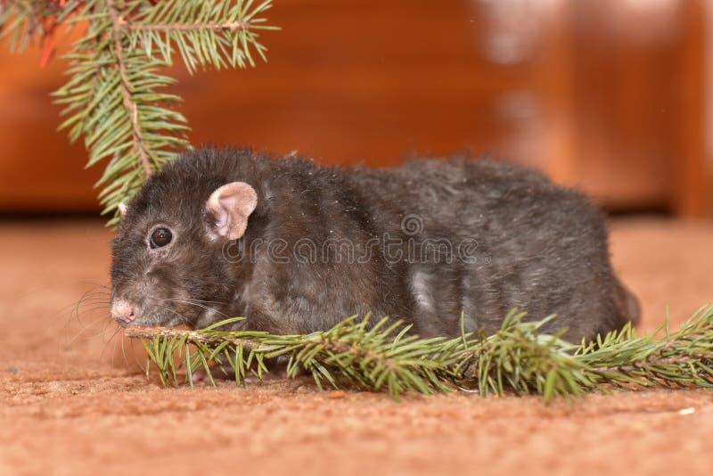La rata mastica las galletas en Año Nuevo fotos de archivo libres de regalías