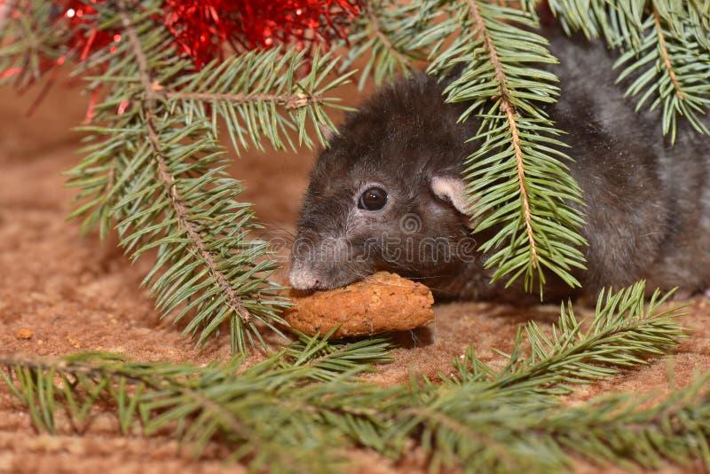 La rata mastica las galletas en Año Nuevo imagen de archivo