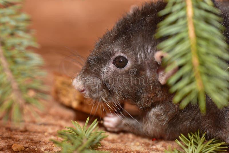 La rata mastica las galletas en Año Nuevo imagen de archivo libre de regalías