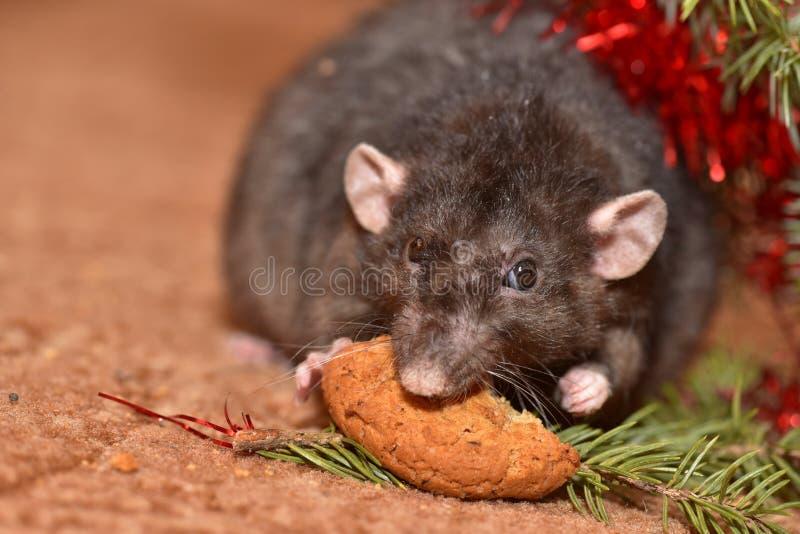 La rata mastica las galletas en Año Nuevo imágenes de archivo libres de regalías