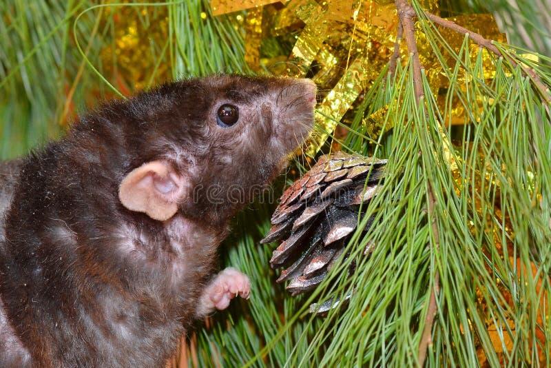 La rata mastica las galletas en Año Nuevo fotografía de archivo libre de regalías