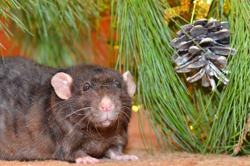 La rata mastica las galletas en Año Nuevo fotos de archivo
