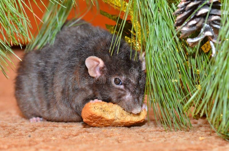 La rata mastica las galletas en Año Nuevo foto de archivo