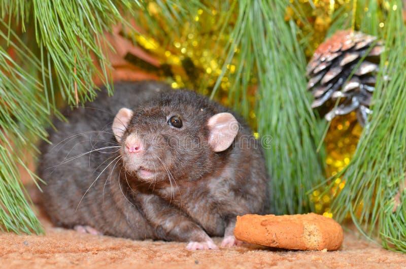 La rata mastica las galletas en Año Nuevo imagenes de archivo