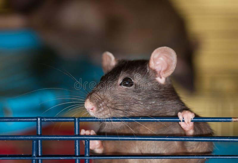 La rata negra curiosa foto de archivo