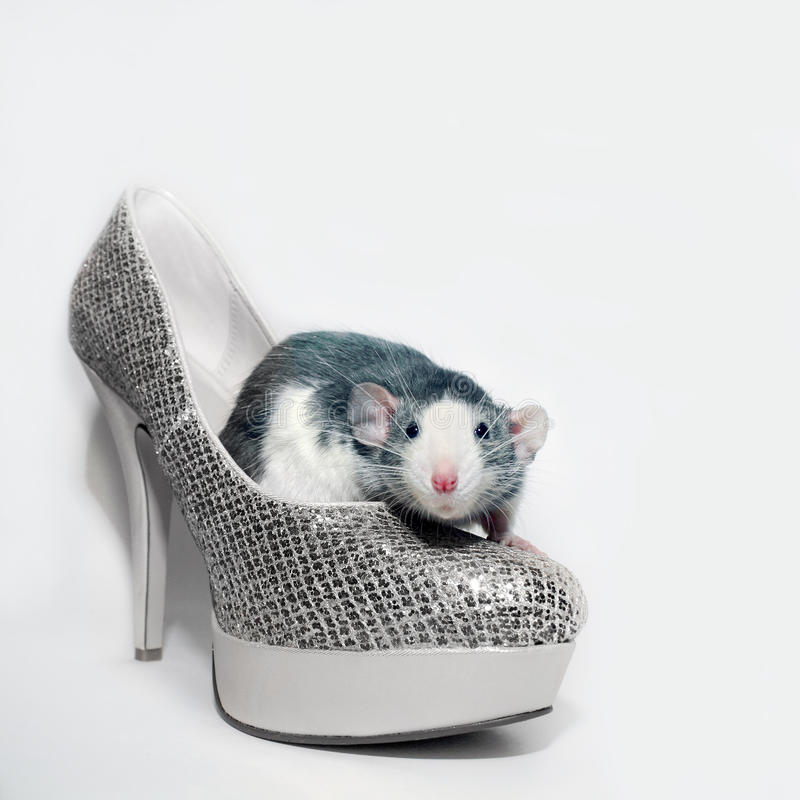 La rata se sienta en el zapato imágenes de archivo libres de regalías