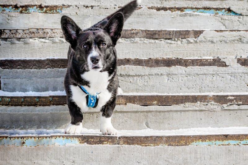 La raza adulta de la rebeca del Corgi Galés del perro nacional se coloca en invierno en un pórtico del cemento, fotografía de archivo