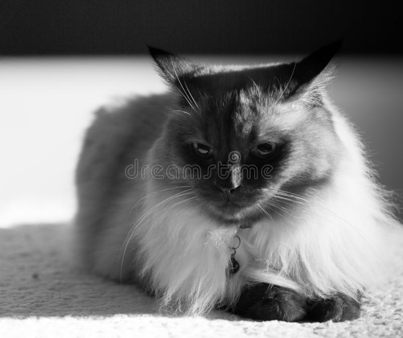 La raza adulta del gato tailandesa o siamesa con los ojos azules en un fondo aislado entra adelante en el marco imagenes de archivo