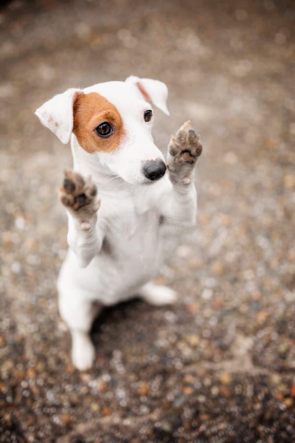 La raza blanca linda Jack Russell Terrier del perro aumentó sus patas para arriba imagen de archivo libre de regalías