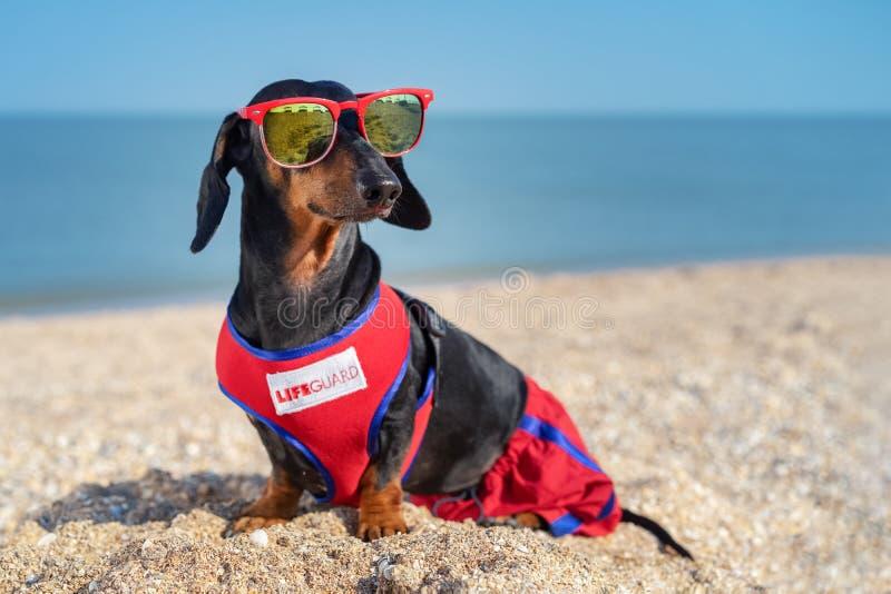 La raza del perro basset del perro, negras lindos y broncean, en una vida azul roja Guarde del chaleco y las gafas de sol rojas,  fotografía de archivo