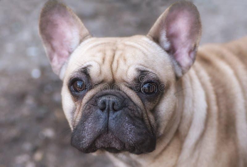 La razza del cane il bulldog francese è molto curiosa fotografia stock libera da diritti