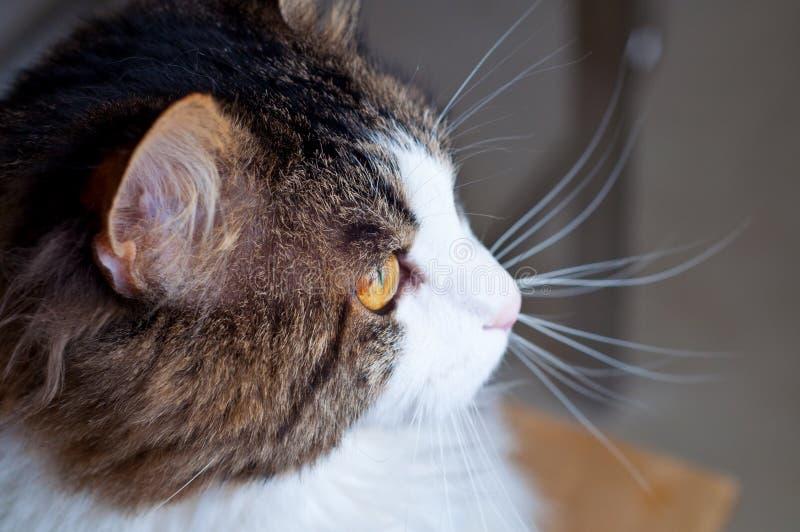 La razza Kuril del gatto taglia la coda agli sguardi Ritratto di bello primo piano lanuginoso del gatto immagine stock libera da diritti