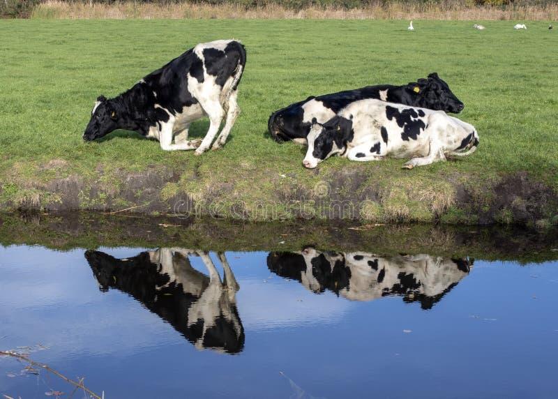 La reflexión de vacas de varios colores negras en el banco de una cala, una es de arrodillamiento o que se levanta foto de archivo libre de regalías