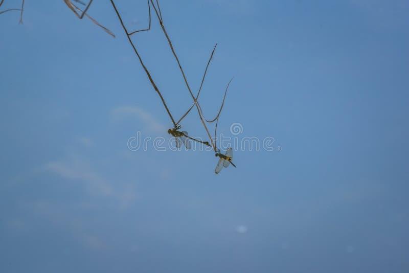 La reflexión en la superficie del agua de una libélula que descansa sobre una rama imagen de archivo