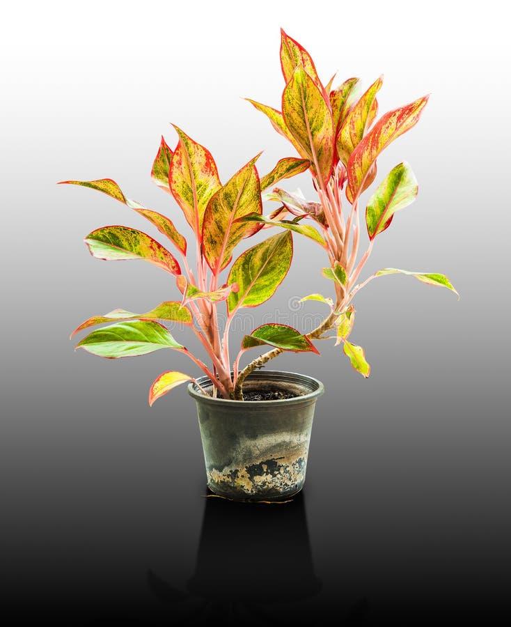 La reina de las plantas frondosas, nombre científico es bicolor de Caladium imagen de archivo