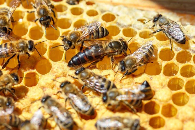 La reine des abeilles avec les abeilles sur les peignes photos libres de droits