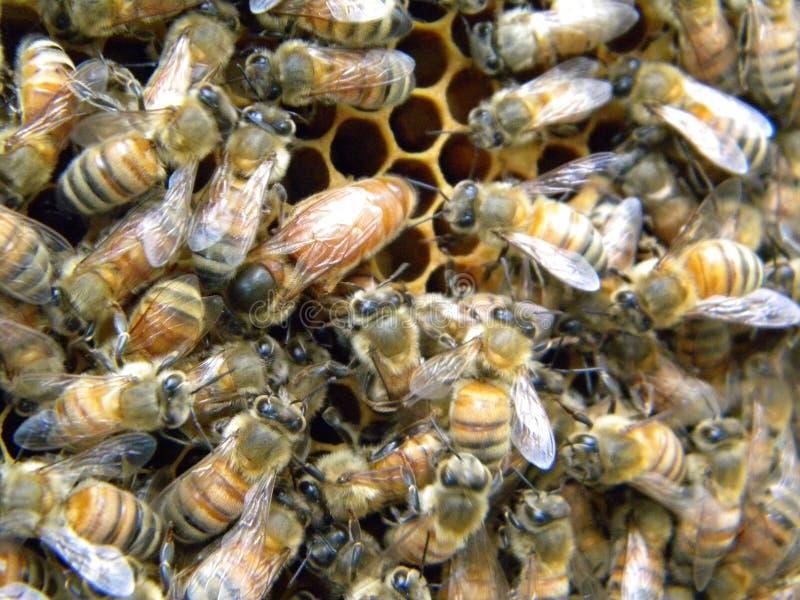 La Reine Honey Bee de Mellifra d'api image stock