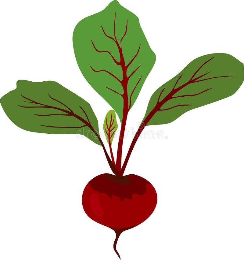 La remolacha cruda roja con verde se va en el fondo blanco stock de ilustración