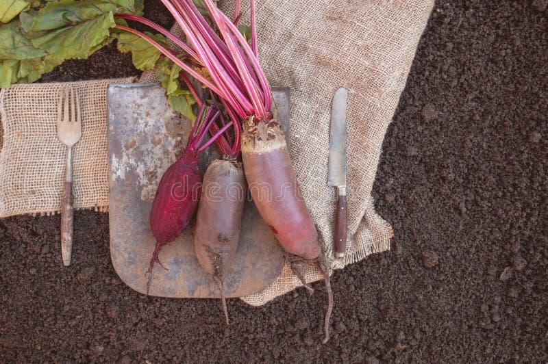 La remolacha orgánica de las verduras de raíz, mintiendo en la espada y el paño grueso sirvió el pueblo Copia de la cosecha del o imagen de archivo libre de regalías