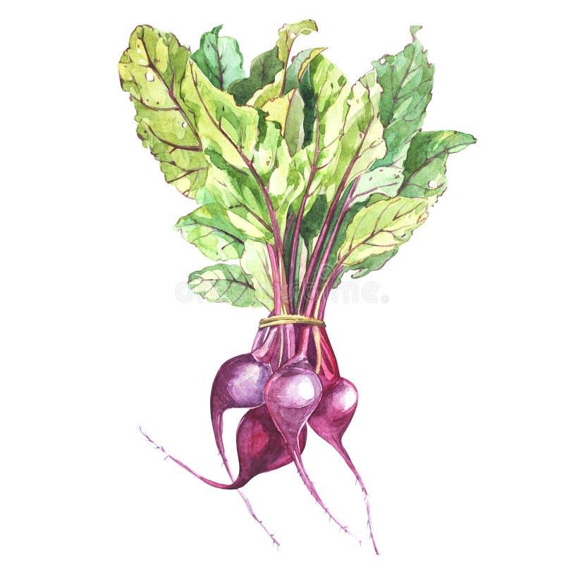 La remolacha, remolacha con las hojas aisladas, mano del ejemplo dibujada pintó la acuarela stock de ilustración