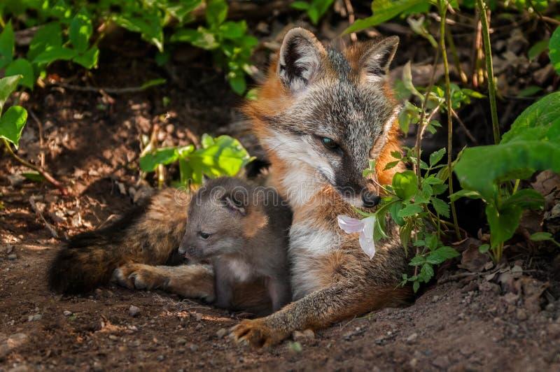 La renarde de Grey Fox (cinereoargenteus d'Urocyon) renifle la fleur avec le kit photographie stock