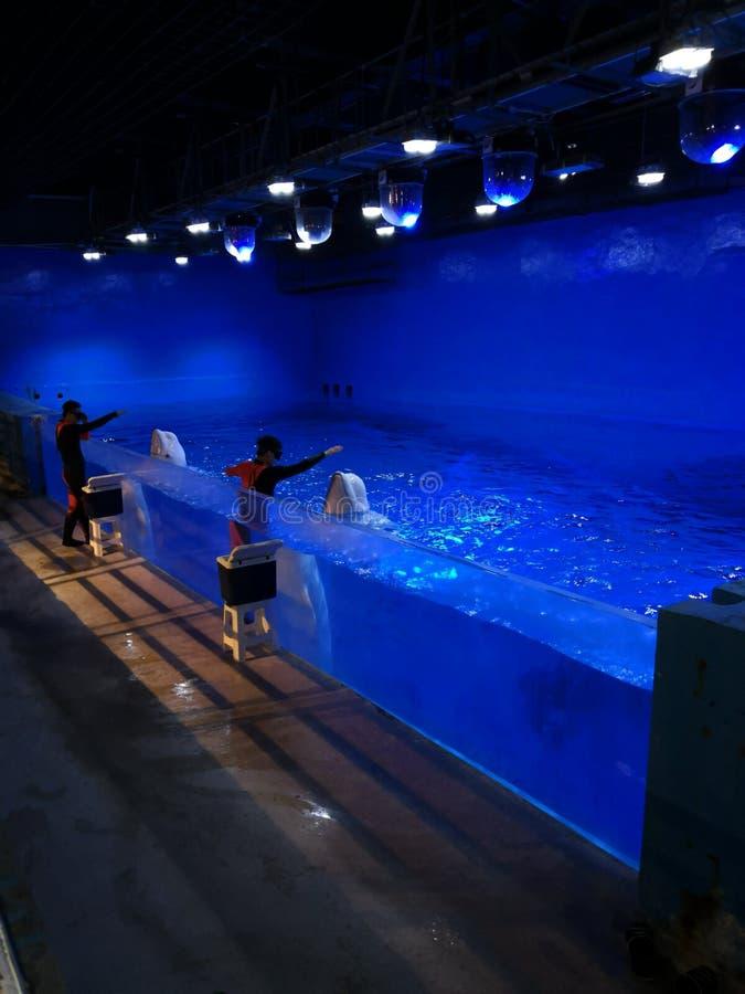 La représentation de dauphin de Baiji vivante images stock