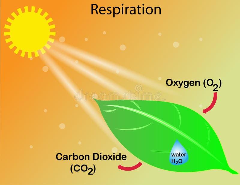 La respirazione di una pianta illustrazione vettoriale