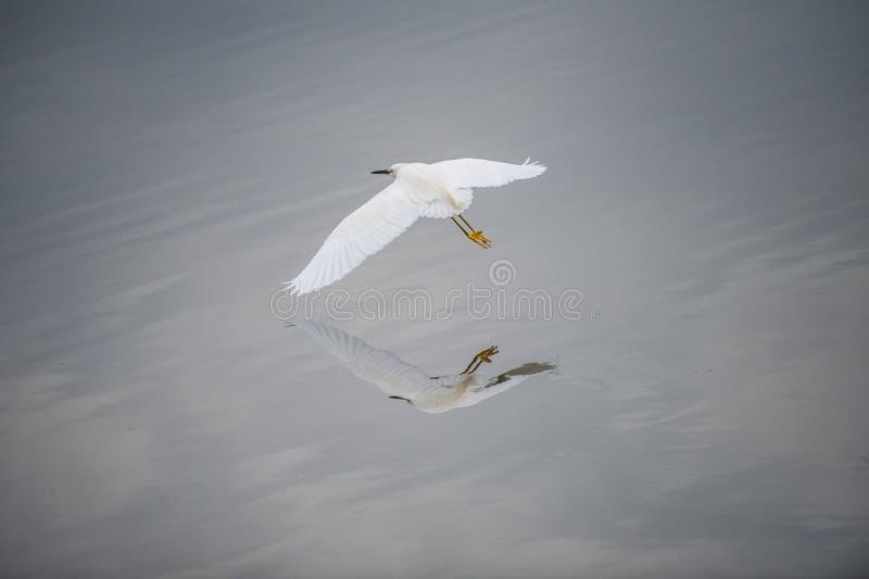 La riflessione della grande egretta fotografie stock