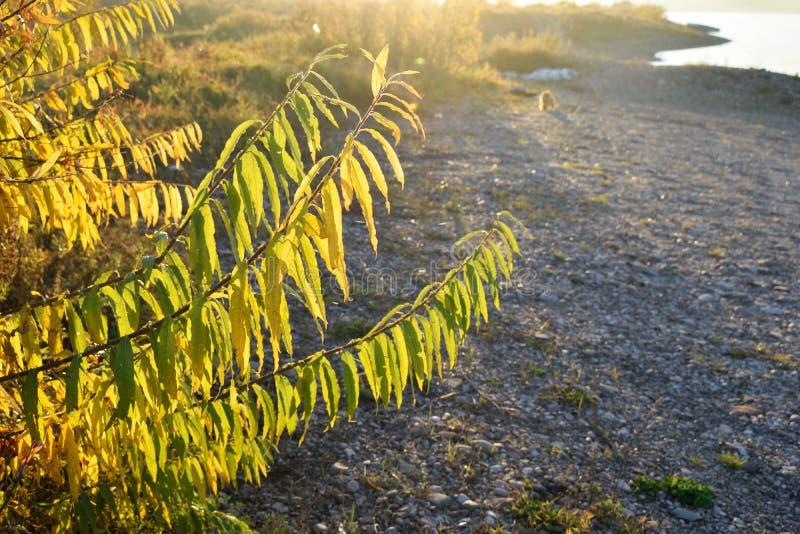 La riva di giallo del salice di autunno lapida il sole trasparente di sera del fiume fotografia stock libera da diritti