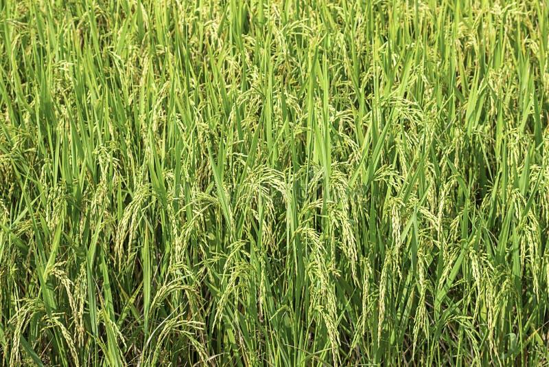 La rizière verte met en place et est bientôt jusqu'à la récolte de graine images stock