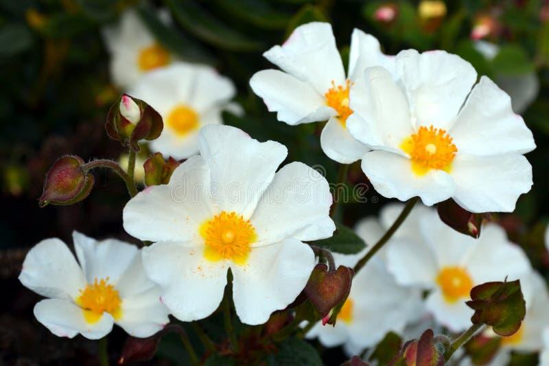 La roca de Sageleaf subió floreciendo en el día soleado ligero en el jardín, planta imperecedera del salviifolius del Cistus imagen de archivo