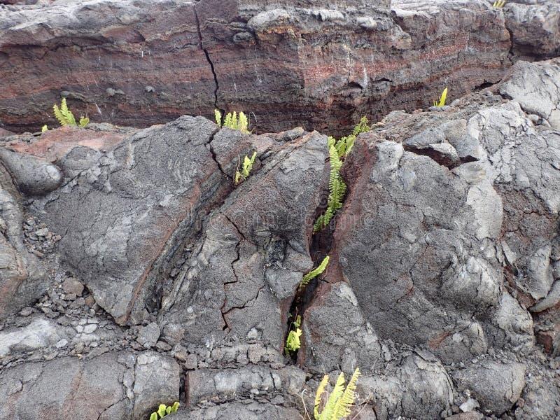 La roccia della lava con le crepe come piccole piante comincia svilupparsi fotografia stock libera da diritti