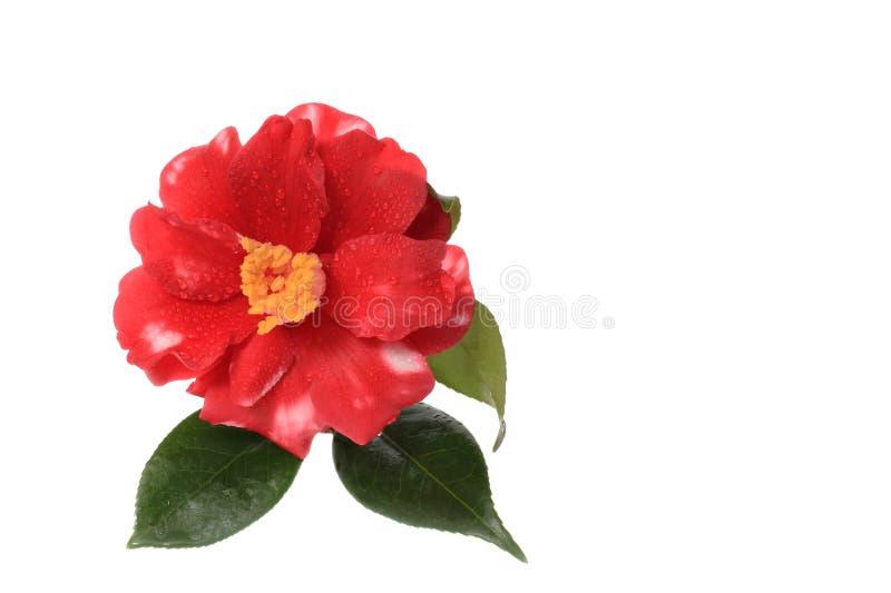 La rosée a couvert le camélia d'isolement sur le blanc image stock