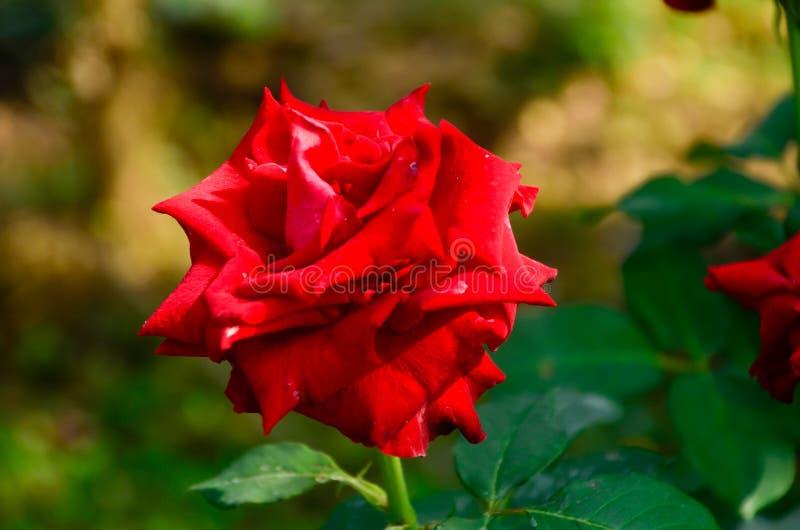 La rosa è un simbolo di amore ed il romance, che ha certa leggenda la ha quella è aumentato come indicatore invece del immagine stock libera da diritti