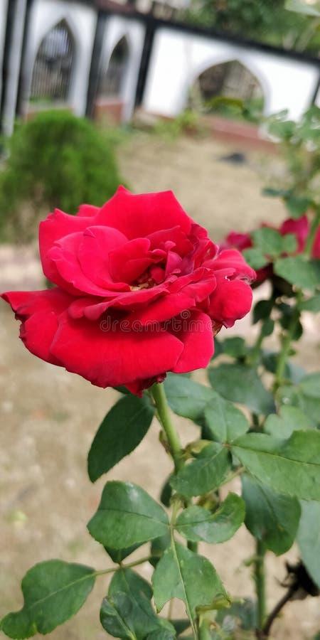 La Rosa immagini stock libere da diritti