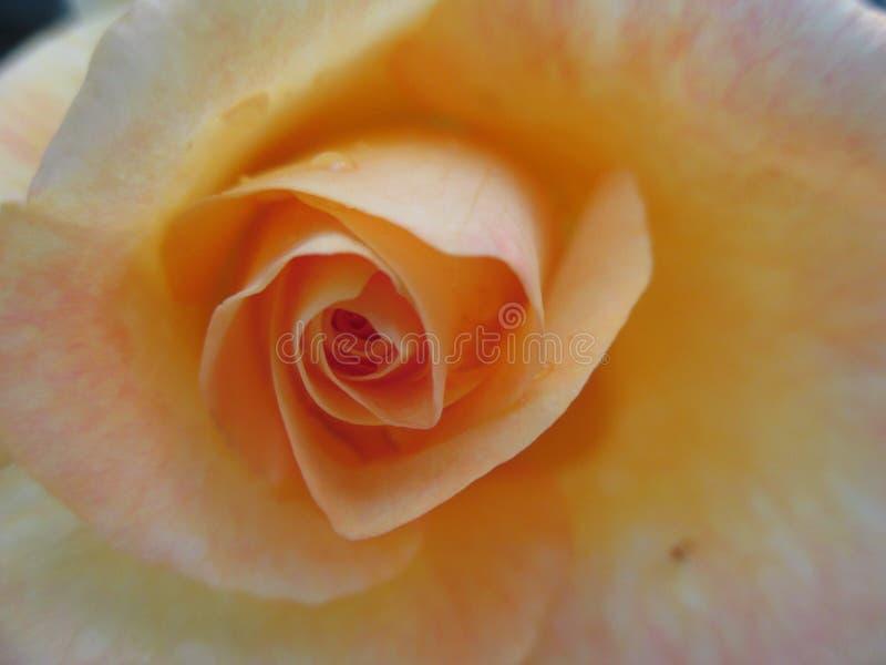 La rosa amarilla II fotografía de archivo