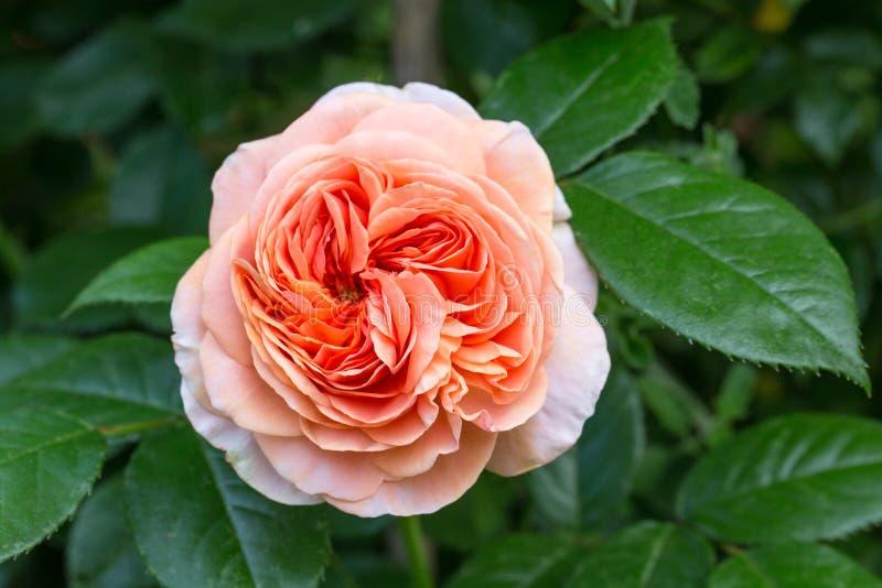 La rosa arancione di color salmone è aumentato nel giardino fotografia stock libera da diritti