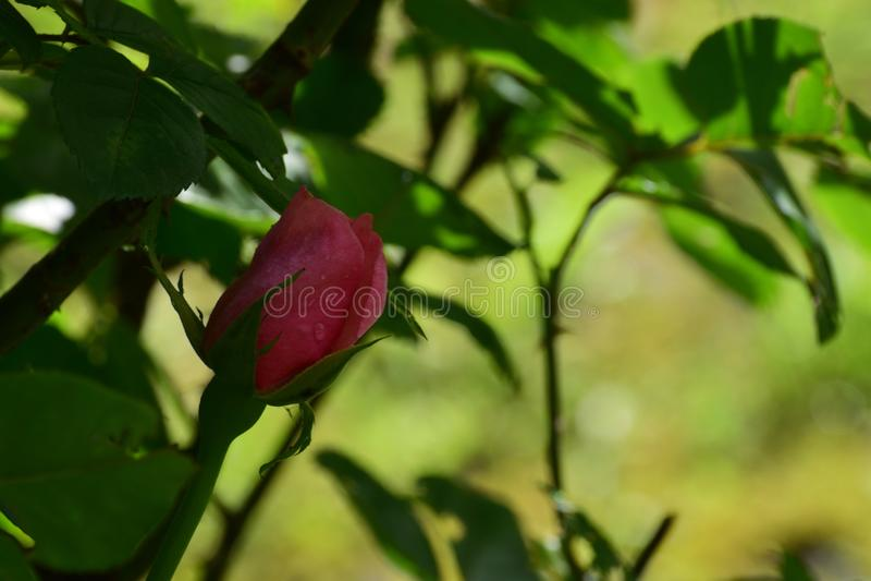 La rosa bañada en el rocío imagen de archivo