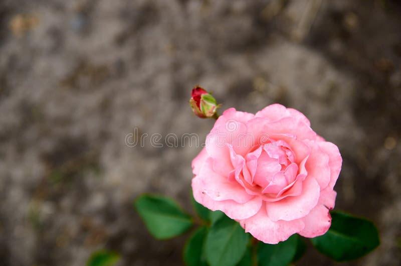 La rosa rosa clara hermosa aisló la floración en fondo gris borroso en el cierre del jardín para arriba con el espacio de la copi imagen de archivo