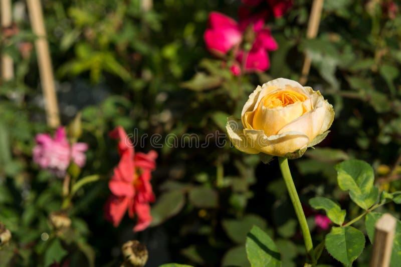 La rosa colorida del primer florece en el árbol, conceptos dulces del amor, conceptos románticos, imágenes macras imagen de archivo libre de regalías