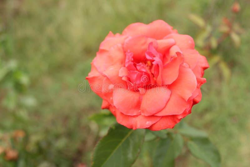 La rosa de la naranja rojiza y del rosa florece en la montaña de Himalaya foto de archivo