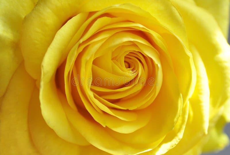 La rosa del amarillo, brillante subió, florece, color hermoso, brillante, flor brillante, macro, naturaleza, planta, grande subió imagen de archivo libre de regalías